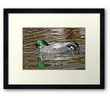 Falcated Duck Framed Print