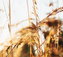 Close-up of Grass in Golden Sunset Light Sticker
