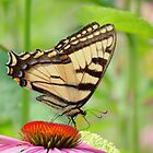 July Swallowtail - Butterfly by MTBobbins