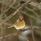 THE HARIDAN - Northern Cardinal - Cardinalis cardinalis  by MotherNature