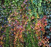 Colourful Boston Ivy by Wendy Skala