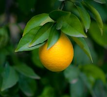 Ripe orange on a tree before picking  by PhotoStock-Isra