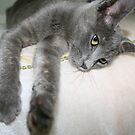Russian Grey Cross Tabby Cat by taiche