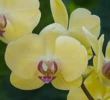 Pale Yellow Orchids in Lush Jungle Green Sticker