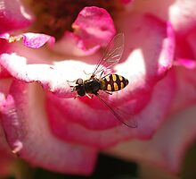 Hover Fly in the Pink by Paul Chubb