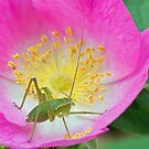 Speckled Bush Cricket Nymph on Wild Rose by MikeSquires