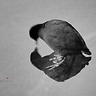 Coot Reflection by Karl F Davis
