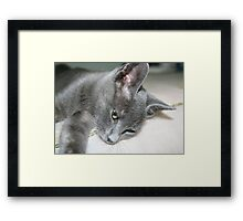 Close Up Of A Grey Kitten Framed Print
