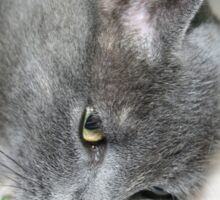Close Up Of A Grey Kitten Sticker
