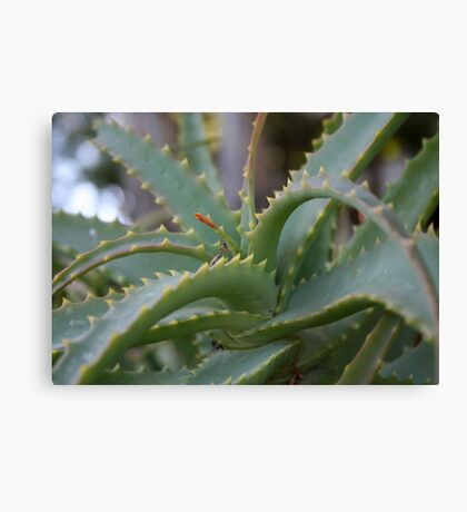 Aloe Vera Leaves  Canvas Print