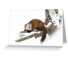 Pine Marten - Algonquin Park Greeting Card