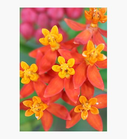 Succulent Red and Yellow Flower Echeveria Photographic Print