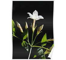 Close Up Of Jasminum Officinale Isolated On Black Poster
