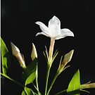 Close Up Of Jasminum Officinale Isolated On Black by taiche