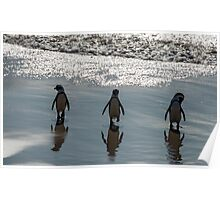 African Penguins, South Africa Poster