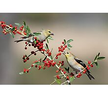 Goldfinches in Yaupon Holly Tree Photographic Print