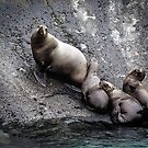 Sea Lions on the Lynn Canal by Yukondick