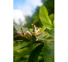 Orange blossom on a tree in a garden  Photographic Print
