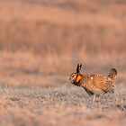 Prairie Chicken 2013-14 by Thomas Young