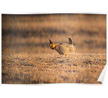 Prairie Chicken 2013-15 Poster