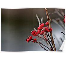 Rose Hips in Winter Poster