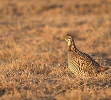 Prairie Chicken 2013-16 by Thomas Young