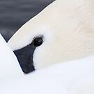 Swan Close Up by Ellesscee