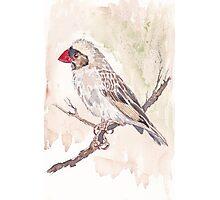 Red-billed Quelea Juvenile Male Photographic Print
