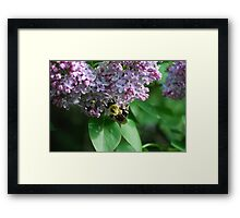 Collecting Nectar from the Lilacs Framed Print