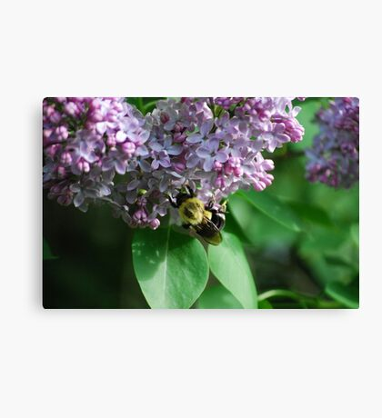 Collecting Nectar from the Lilacs Canvas Print