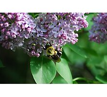 Collecting Nectar from the Lilacs Photographic Print