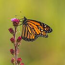 Monarch And Blazing Star 2014-2 by Thomas Young
