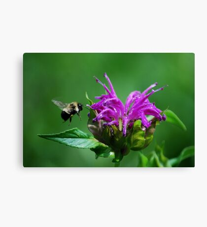 Flight of the Bumble Bee Canvas Print