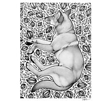 Dingo Dreaming Photographic Print
