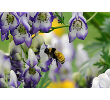 Bumble Bee in the Monk's Hood Photographic Print