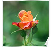 Colorful Rose Poster