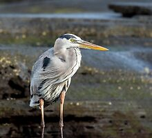 Great blue heron by Margaret Weiss