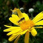 daisy bee by Jan Stead JEMproductions