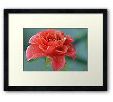 Rain Filled Rose......Lyme Dorset UK Framed Print