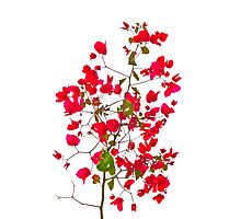 Red petals flowers Photographic Print
