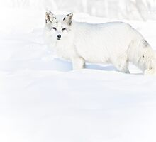 Arctic Fox in Winter by Yannik Hay