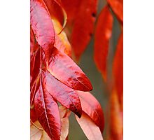 Red Leaves up-close Photographic Print