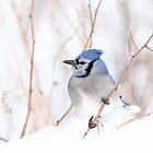 Blue Jay - Algonquin Park by Jim Cumming