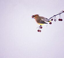 Cedar Waxwing with Berry by Kathy Weaver