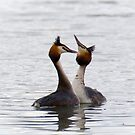 Great Crested Grebe - Courtship Dance 2 by Ellesscee