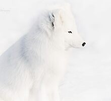 Mr White - Arctic Fox by Yannik Hay