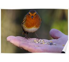 Robin being fed Poster