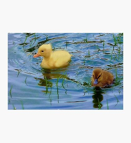 Baby Ducklings Photographic Print