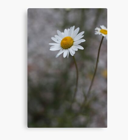 Tobermory Daisy In Summer Canvas Print
