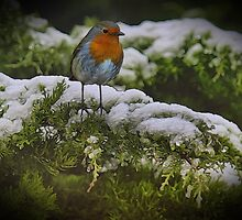Winter Robin by Avril Harris